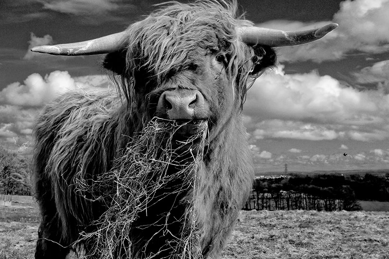 Image of a highland cow