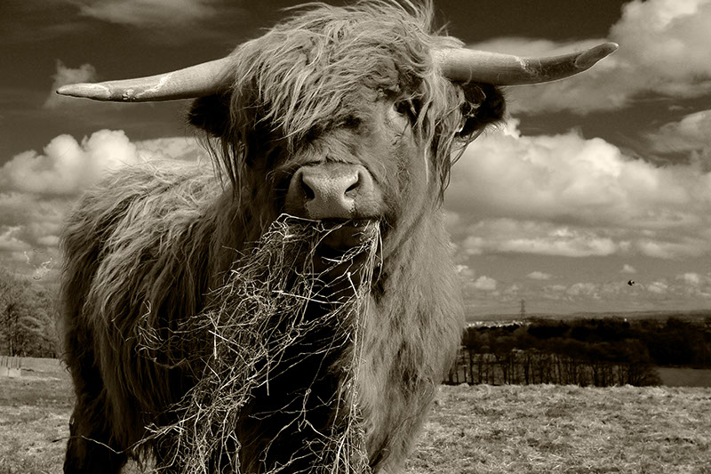 Black and white photo of a Scottish highland cow eating grass in a field
