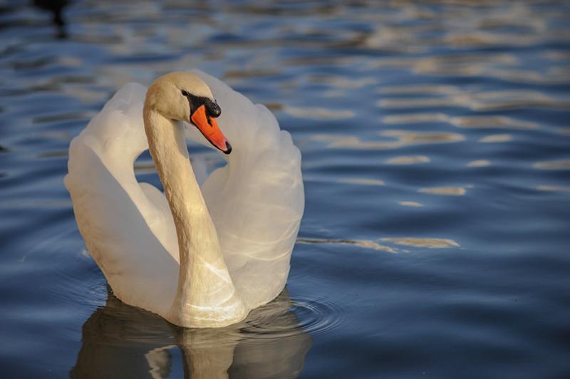 Swan fontainebleau Paris 04